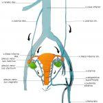 анатомия венозна система малък таз